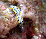 Mating nudibranches. Two mating Purple Crowned Sea Goddess nudibranchs in a popular spot early one morning among the colourful corals of the reef Stock Images