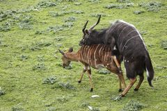 Mating nyalas in zoo Stock Image