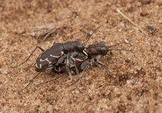 Mating Oblique-lined Tiger Beetles Stock Photo