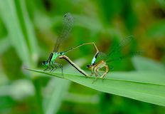 Mating of odonata  (Demselfly) Royalty Free Stock Photo
