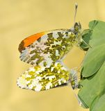 Mating Orange Tip Butterflies. Closeup of mating orange tip butterflies Stock Image