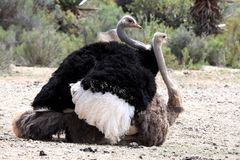 Mating Ostrich Birds Stock Photography
