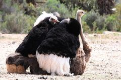 Mating Ostriches royalty free stock images