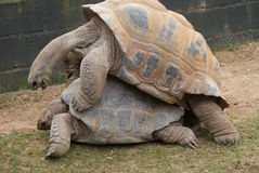 Mating Pair of Aldabra Giant Tortoise - Aldabrachelys gigantea Royalty Free Stock Image