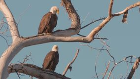 Mating Pair of Bald Eagles on a Branch