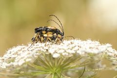 A mating pair of beautiful Black and Yellow Longhorn Beetle Rutpela maculata formerly Strangalia maculata nectaring on a wild royalty free stock photography