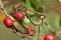 A mating pair of Common Darter Dragonfly Sympetrum striolatum perched on red Hawthorn Berries. royalty free stock image