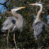 Mating pair of blue herons kissing Stock Photos