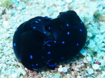 Mating pair of blue spotted shield slug chelidonura Red Sea Royalty Free Stock Images