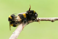 A mating pair of Bumblebee Bombus perched on a branch. Stock Images
