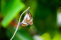 Mating pair butterflies Stock Image