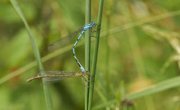 A mating pair of Common Blue Damselfly Enallagma cyathigerum perched on a grass stem. Stock Image
