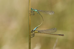 A mating pair of Common Blue Damselfly Enallagma cyathigerum perched on a reed. Stock Photo