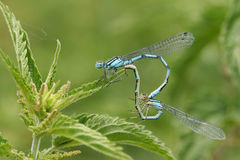A mating pair of Common Blue Damselfly Enallagma cyathigerum perched on a stinging nettle. Stock Image