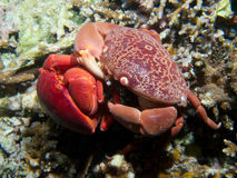 Mating pair of Convex crabs Royalty Free Stock Image