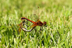 Mating of a pair dragonflies on the grass Sympetrum vulgatum Stock Photography