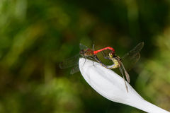 Mating pair of dragonflies Royalty Free Stock Image