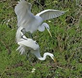 Mating pair of egrets, Florida royalty free stock images