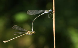 A mating pair of Emerald Damselfly Lestes sponsa perched on a reed. Stock Photos