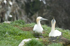 Mating pair of Gannets Royalty Free Stock Photography