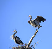 A Mating Pair of Great Blue Heron at the Nest Royalty Free Stock Images