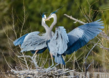 Mating Pair of Great Blue Herons. The Great Blue Heron is a large wading bird most commonly found near bodies of water. They can be found year-round in most of Royalty Free Stock Image