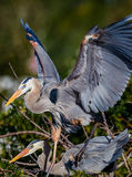 Mating pair of Great blue herons in rookery in Florida Royalty Free Stock Image