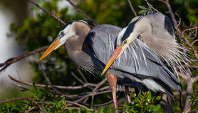 Mating pair of Great blue herons in rookery Stock Image