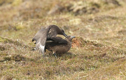 Mating pair of Great Skua Catharacta skua on Hoy, Scotland. Royalty Free Stock Photo