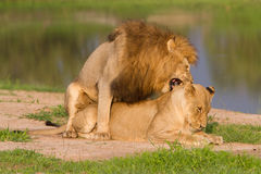 Mating pair of lions Royalty Free Stock Image