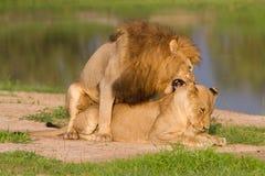 Mating pair of lions. A mating pair of lions in golden light Royalty Free Stock Image