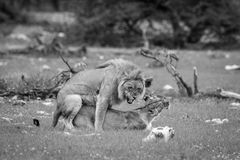 Mating pair of Lions in black and white. stock images