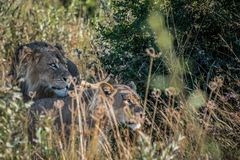 Mating pair of lions in long grass stock image