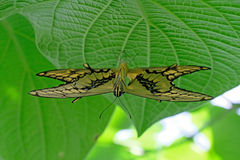 Mating pair of Machaon Butterflies, swallowtail, papilio machaon Royalty Free Stock Photography