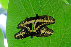 Mating pair of Machaon Butterflies, swallowtail, papilio machaon Royalty Free Stock Images