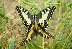 A mating pair of Machaon butterflyes. (Papilio machaon stock photography