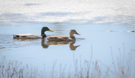 Mating pair of Mallard (Anas platyrhynchos) ducks swims by in cold springtime meltwater. Mating pair of Mallard ducks - Anas platyrhynchos -  swim amongst the Royalty Free Stock Photography