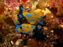 Mating pair of nudibranchs Royalty Free Stock Photo