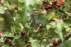 A mating pair of pretty Migrant Hawker Dragonfly Aeshna mixta perched on a branch Hawthorn tree leaf. royalty free stock photography