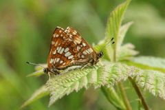 A mating pair of rare Duke of Burgundy Butterfly (Hamearis lucina). Royalty Free Stock Photography
