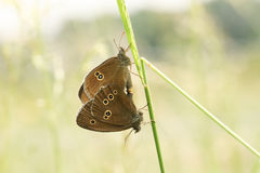 A Mating pair of Ringlet Aphantopus hyperantus perched on a blade of grass. Royalty Free Stock Photography