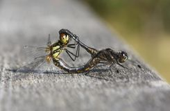 A mating pair of Black Darter Dragonfly Sympetrum danae. Royalty Free Stock Photos