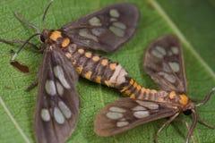 A mating pair of tiger moths Stock Photos