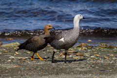 Mating pair of Upland geese in Argentina, South America Stock Photo