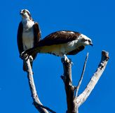 Mating a Pair of Western Ospreys Perched on Tree Limbs. This is a Winter picture of a mating pair of Western Osprey perched on tree limbs in Fort DeSoto State royalty free stock photo