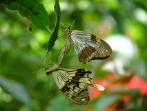 Mating Papilio dardanus. African Swallowtail, Mocker Swallowtail or Flying Handkerchief), is a species of butterfly in the family Papilionidae (the Swallowtails stock photo