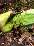 Mating Parasites. Dangerous crop parasites mating on a ladyfinger vegetable in a farm Stock Images