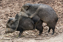 Mating Peccary Royalty Free Stock Photos