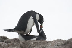 Mating penguins. Gentoo penguins are mating Stock Images