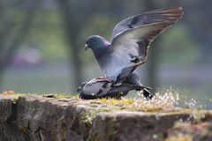 Mating pigeons. Two pigeons mating in the springtime royalty free stock photo